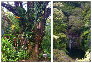 Waterfall and Mango Tree